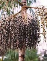 ягода Асаи на пальме